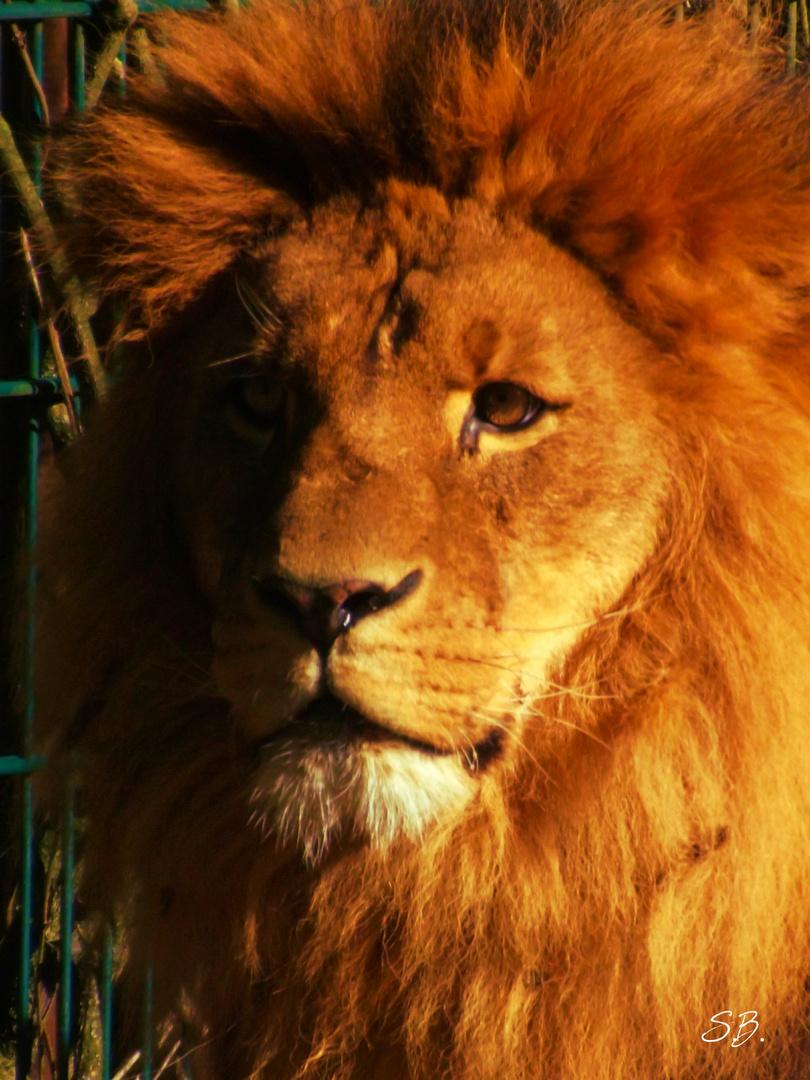 Löwe im Sonnenlicht