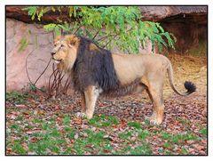 Löwe im Tiergarten