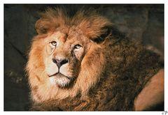 Löwe im Tiergarten Nürnberg - RELOAD