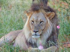 Löwe in bunter Wiese