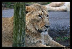 Löwe IV(Panthera leo)