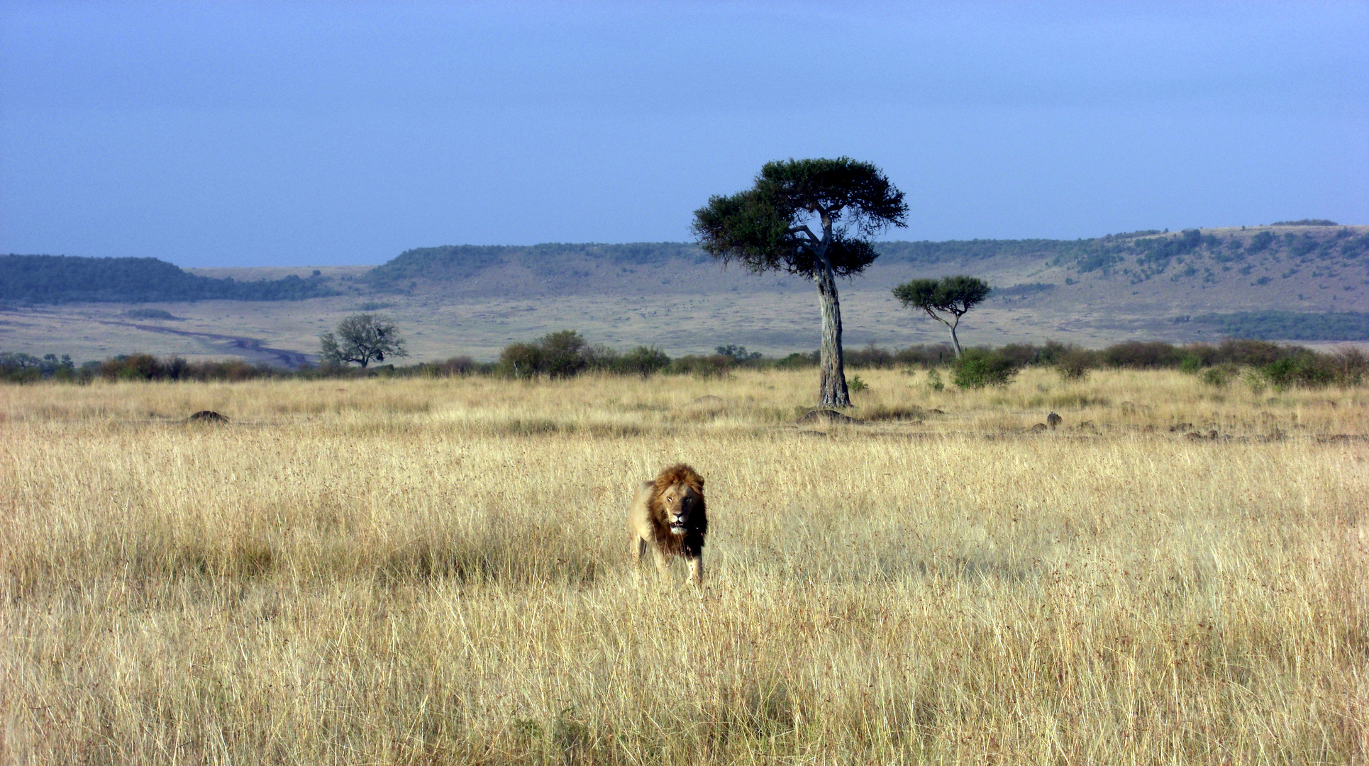 Löwe. Masai Mara, Kenia