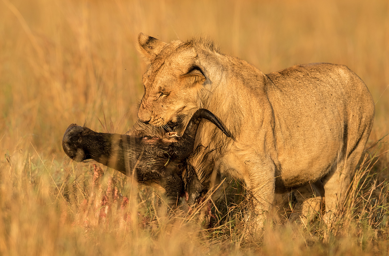 Löwe Beute