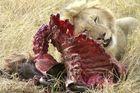 Löwe mit Gnu