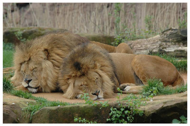 Löwe müsste man sein....