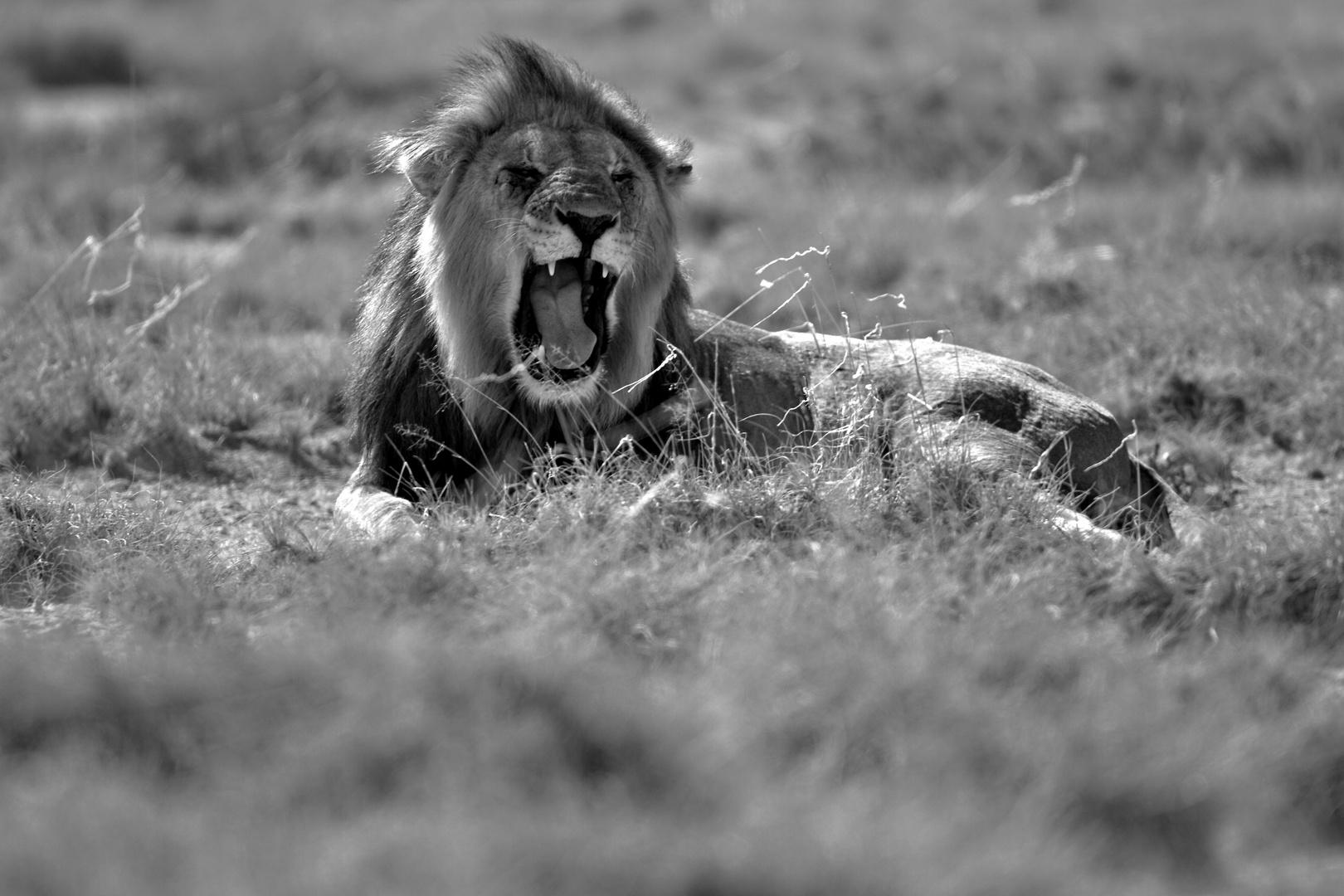 Löwe Namibia Etosha Nationalpark