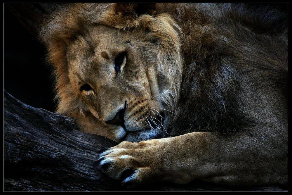 Löwe Nr.2