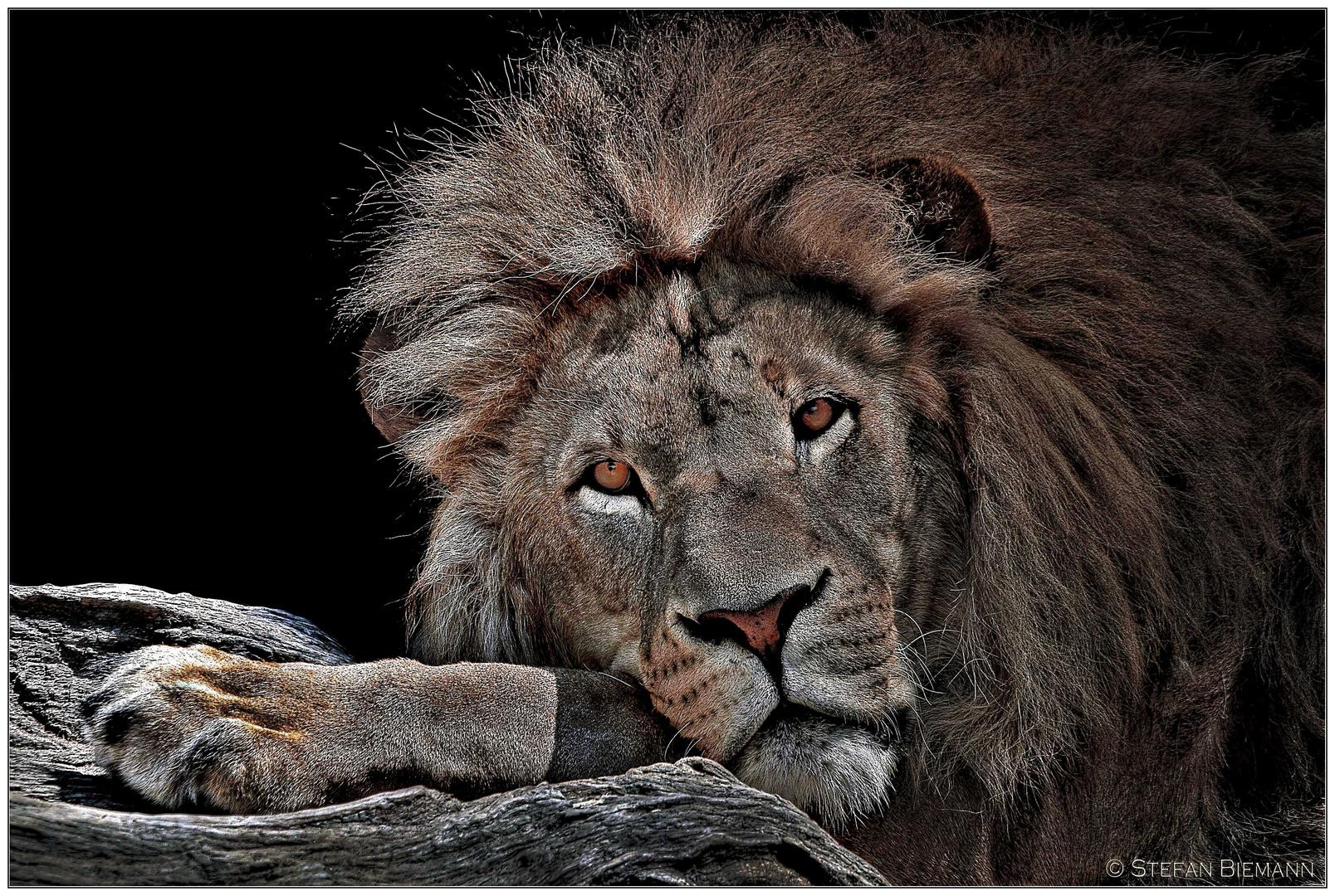 Löwe Nr.4