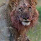 Löwe (Panter leo)