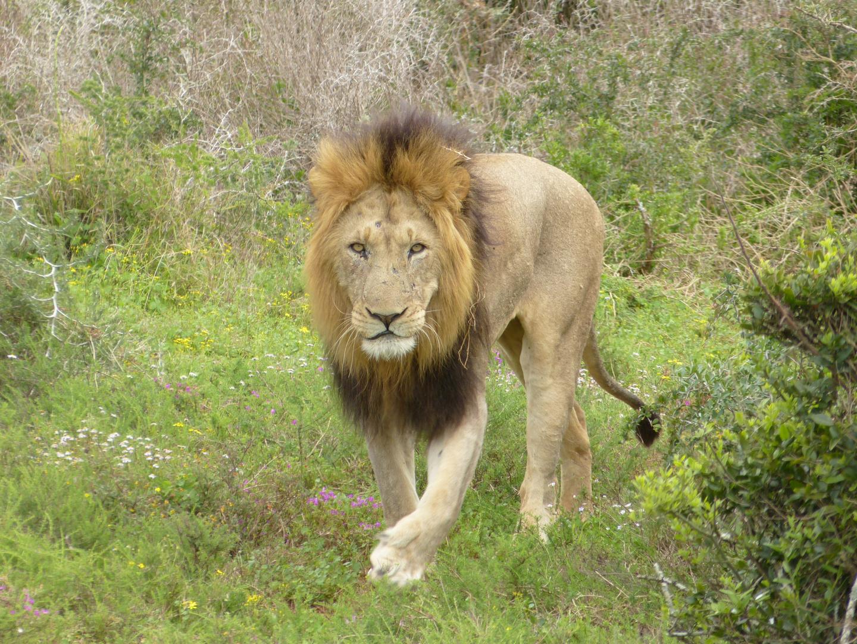 Löwe - Südafrika