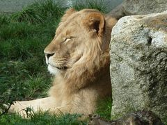 Löwe Tierpark Hellabrunn
