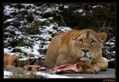 Löwe V (Panthera leo)