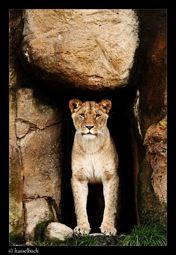 Löwe Wuppertaler Zoo