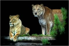 Löwe Zoo Neuwied