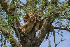 Löwen auf dem Baum