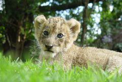 Löwen Baby 277