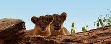 Löwen Babys von Paolo Ceccarelli