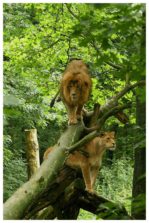 Löwen Burgers-Zoo