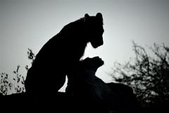 Löwen ...