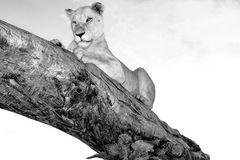 Löwen Dame auf Baum sw 5925