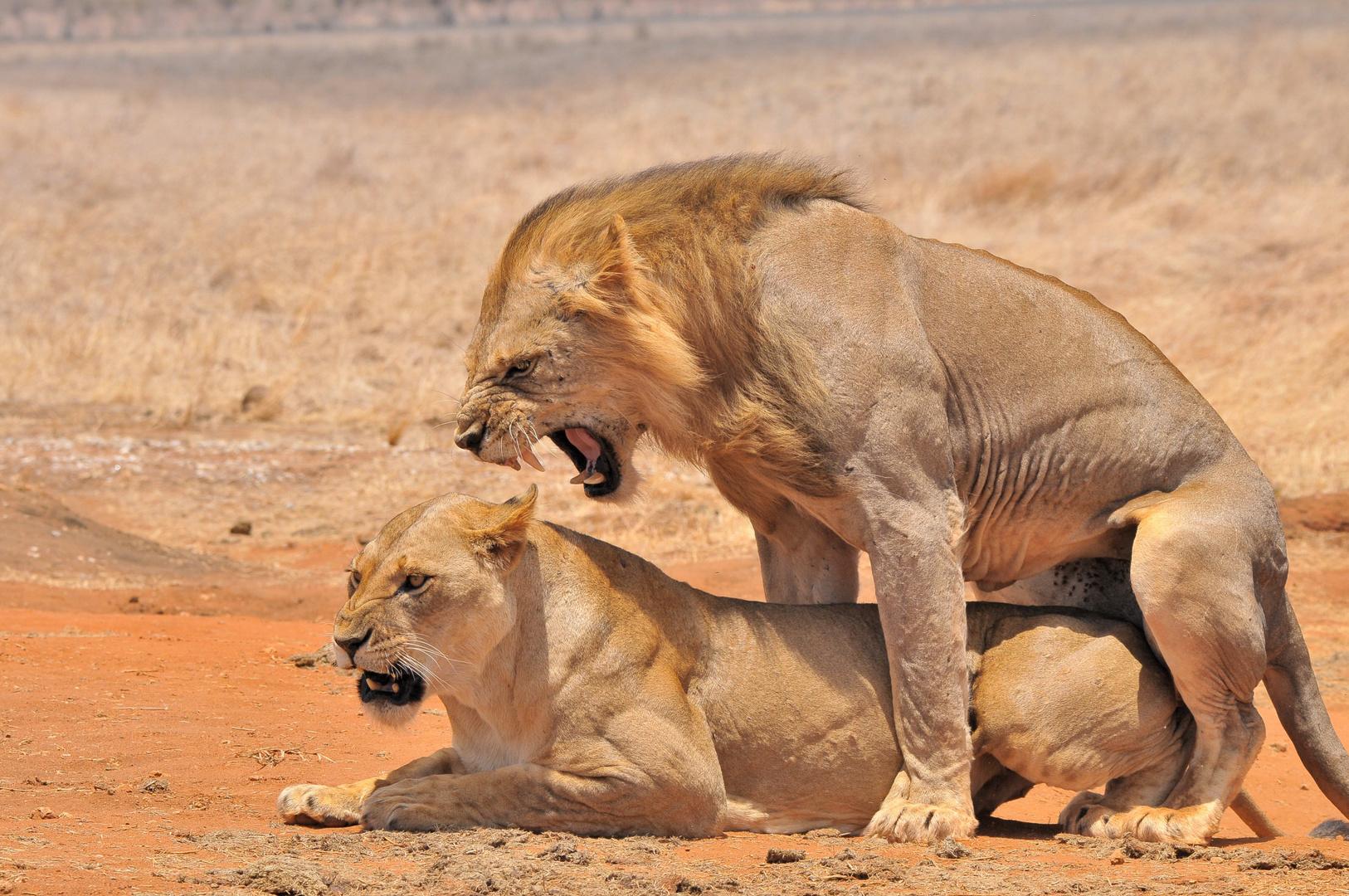 Löwen - Hochtzeit