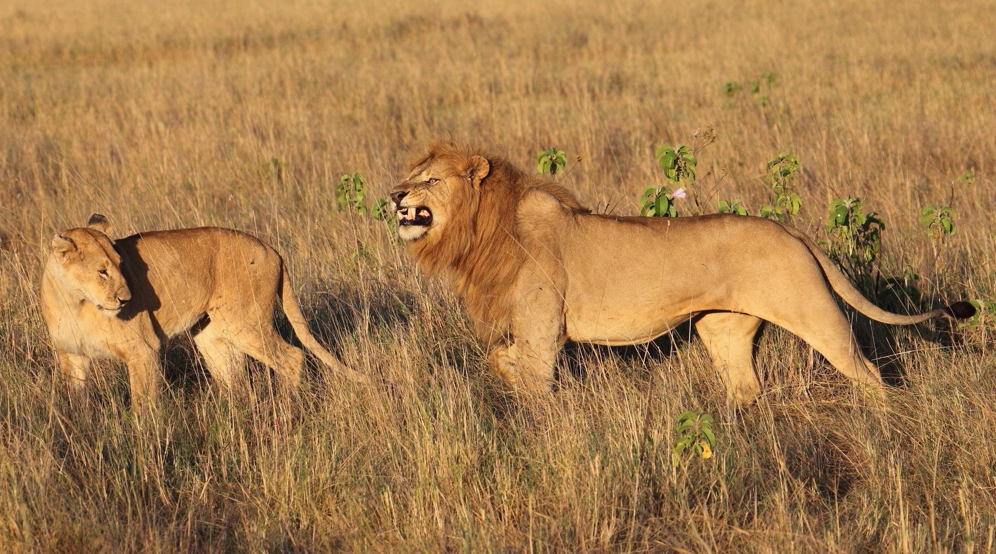 Löwen in der Mara