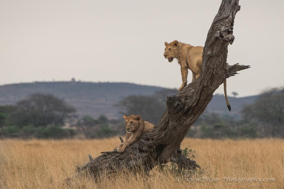 Löwen in der Zentralen Serengeti