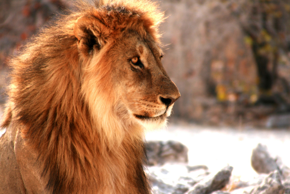 Löwen in Namibia