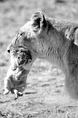 Löwen Mutter trägt Ihr Baby sw