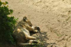 Löwen Nachwuchs