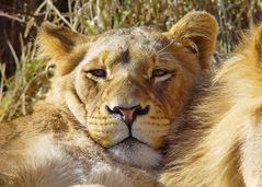 Löwen Pause 2352