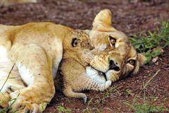 Löwen Portrait von Mutter und Kind