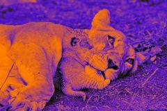 Löwen Portrait von Mutter und Kind digiart