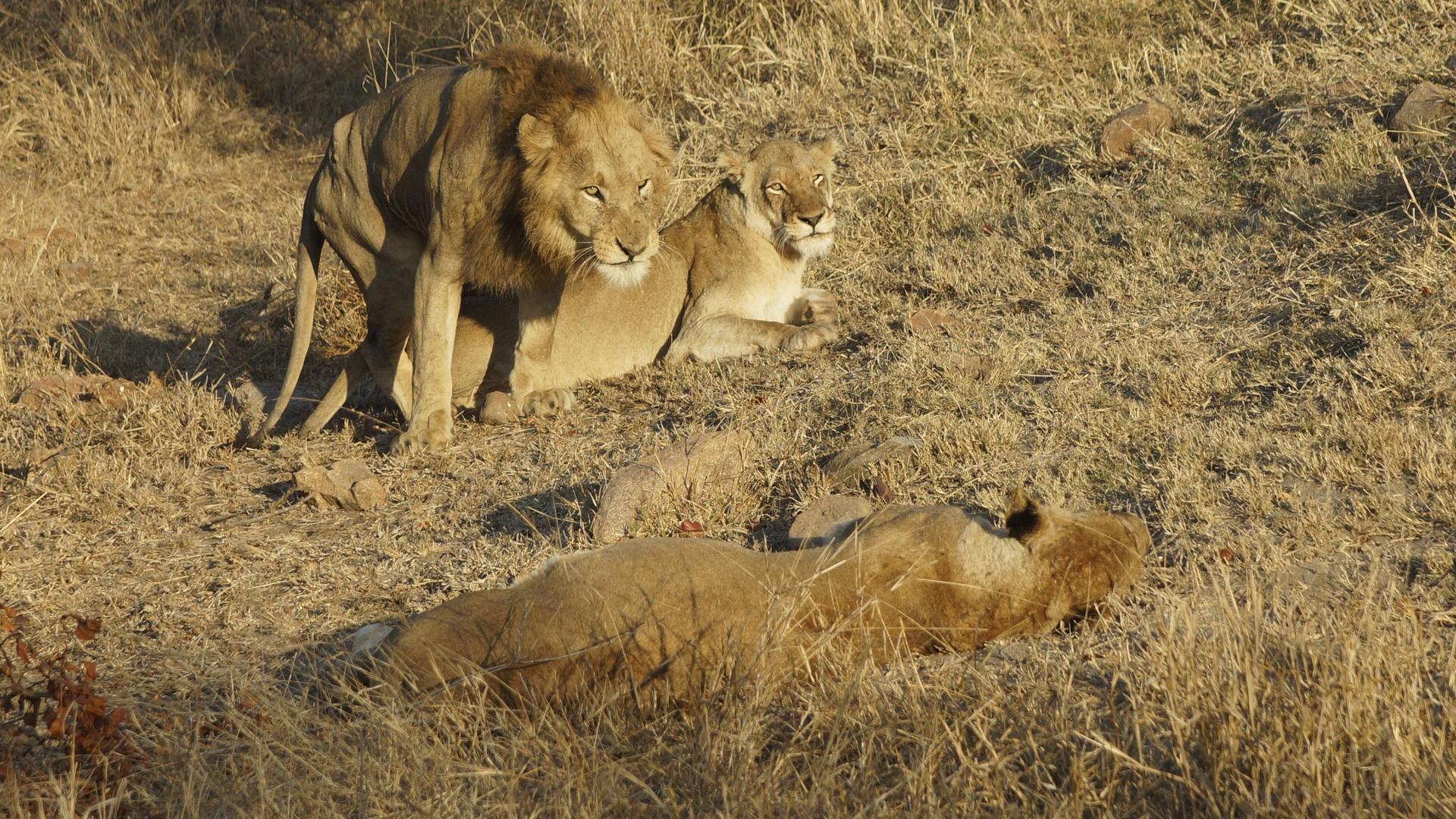Löwen unmittelbar nach dem Liebesspiel