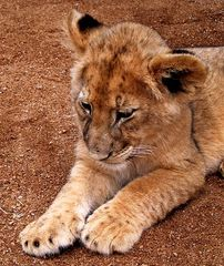 Löwenbaby 1