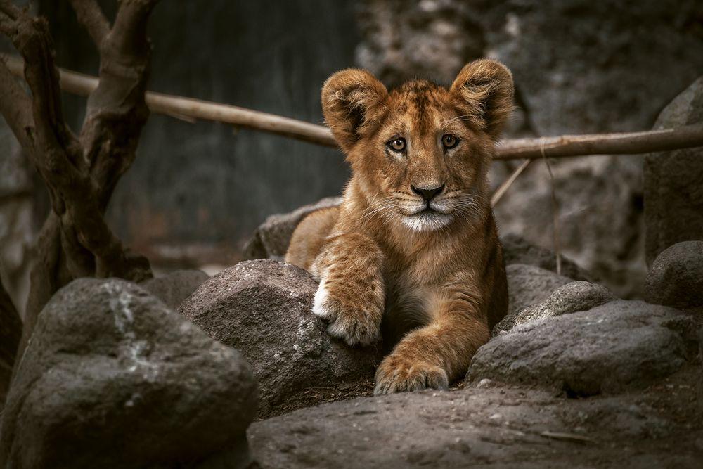 Löwenbaby