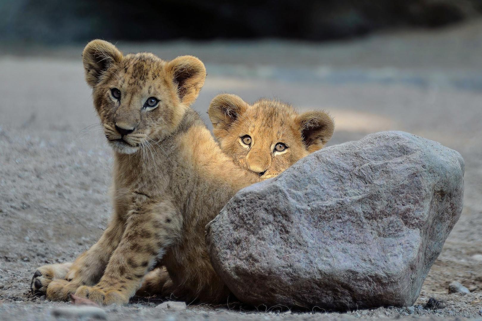 Löwen Babys