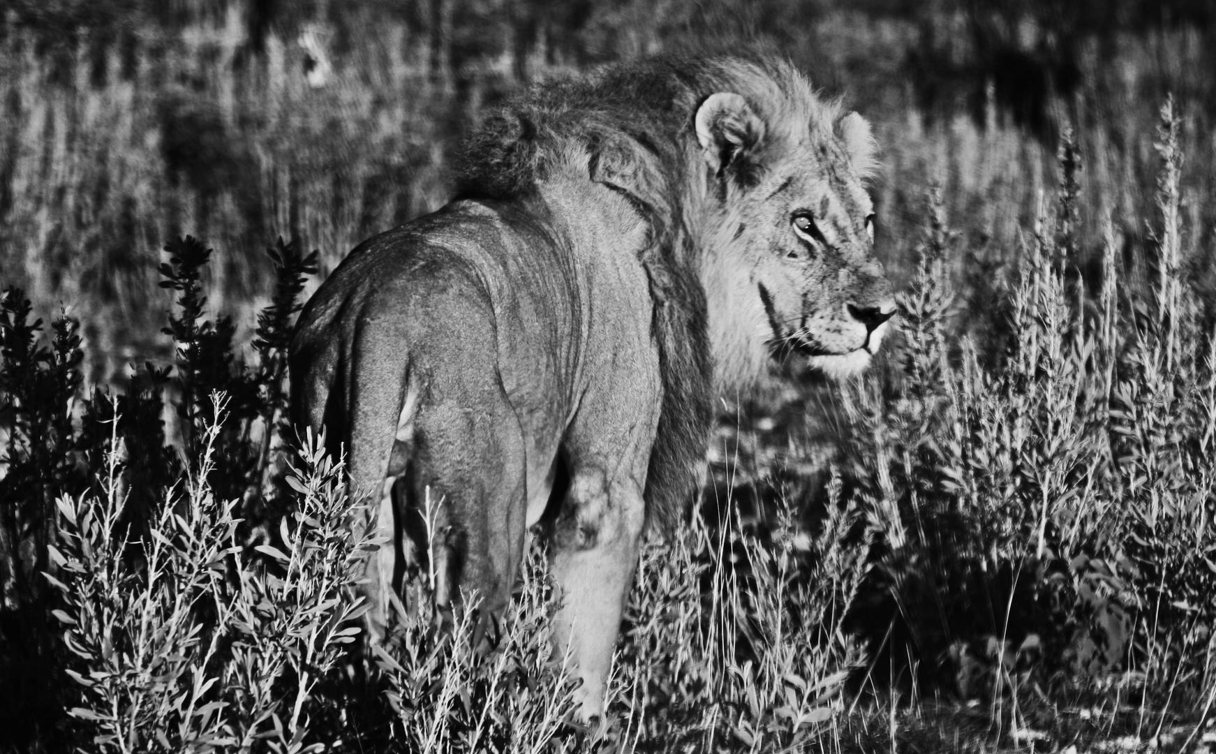 Löwenbegegnung