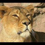 Löwendame ganz groß