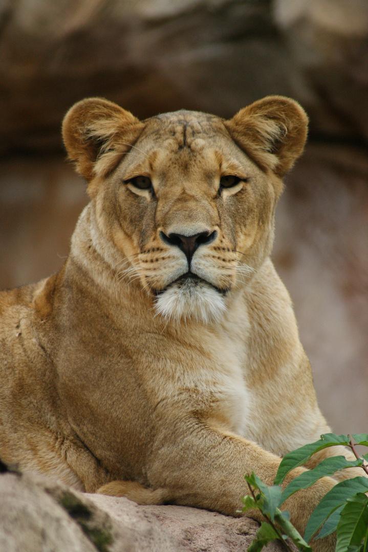 Löwendame im Dresdner Zoo