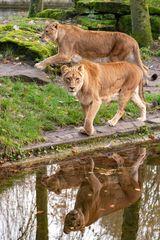 Löwendamen auf dem Catwalk