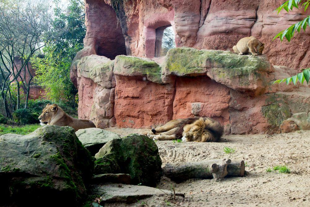 Löwenfamilie im Zoo Hannover