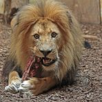 Löwenfütterung