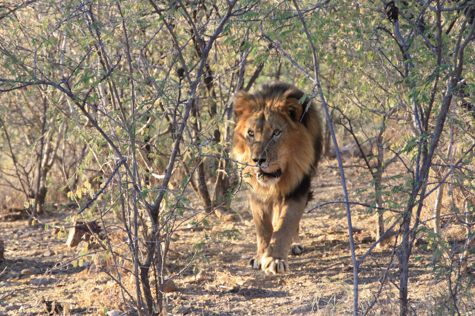 Löwenfütterung auf der Okapuka Ranch