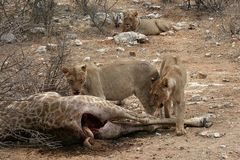 Löwenfutter