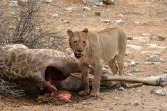 Löwenfutter II