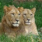 Löwengeschwister