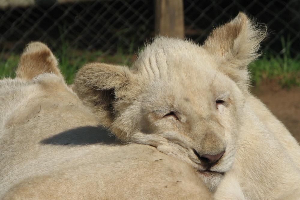 Löwenjunges schläft
