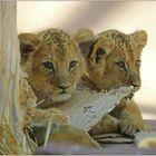 Löwenkinder beim spielen ...