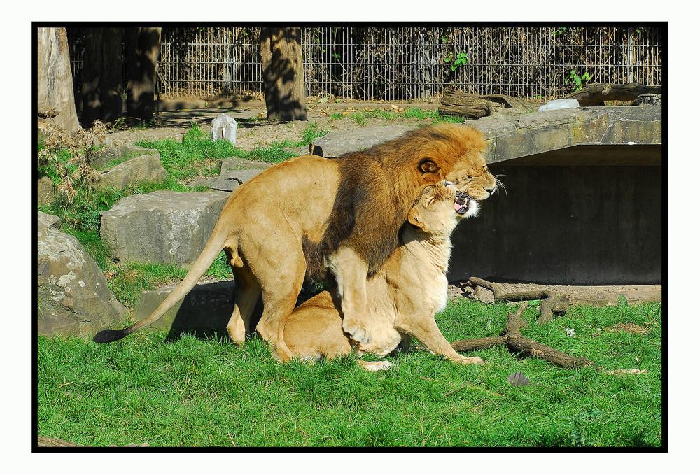 Löwenliebe im Zoo Dortmund